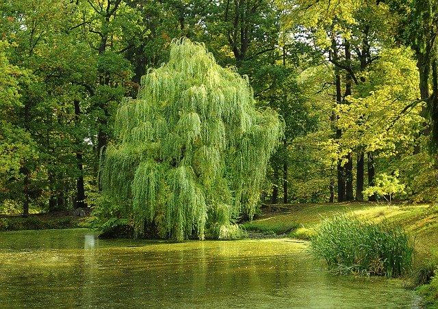vrby nad rybníkem.jpg