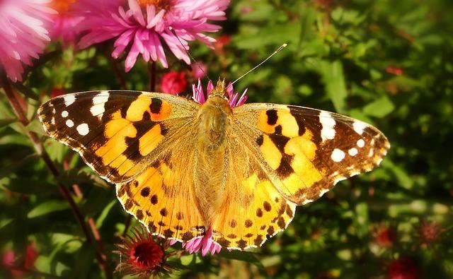 motýl na květině.jpg